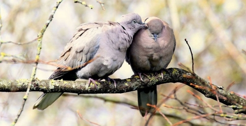 tourterelles-couple.jpg